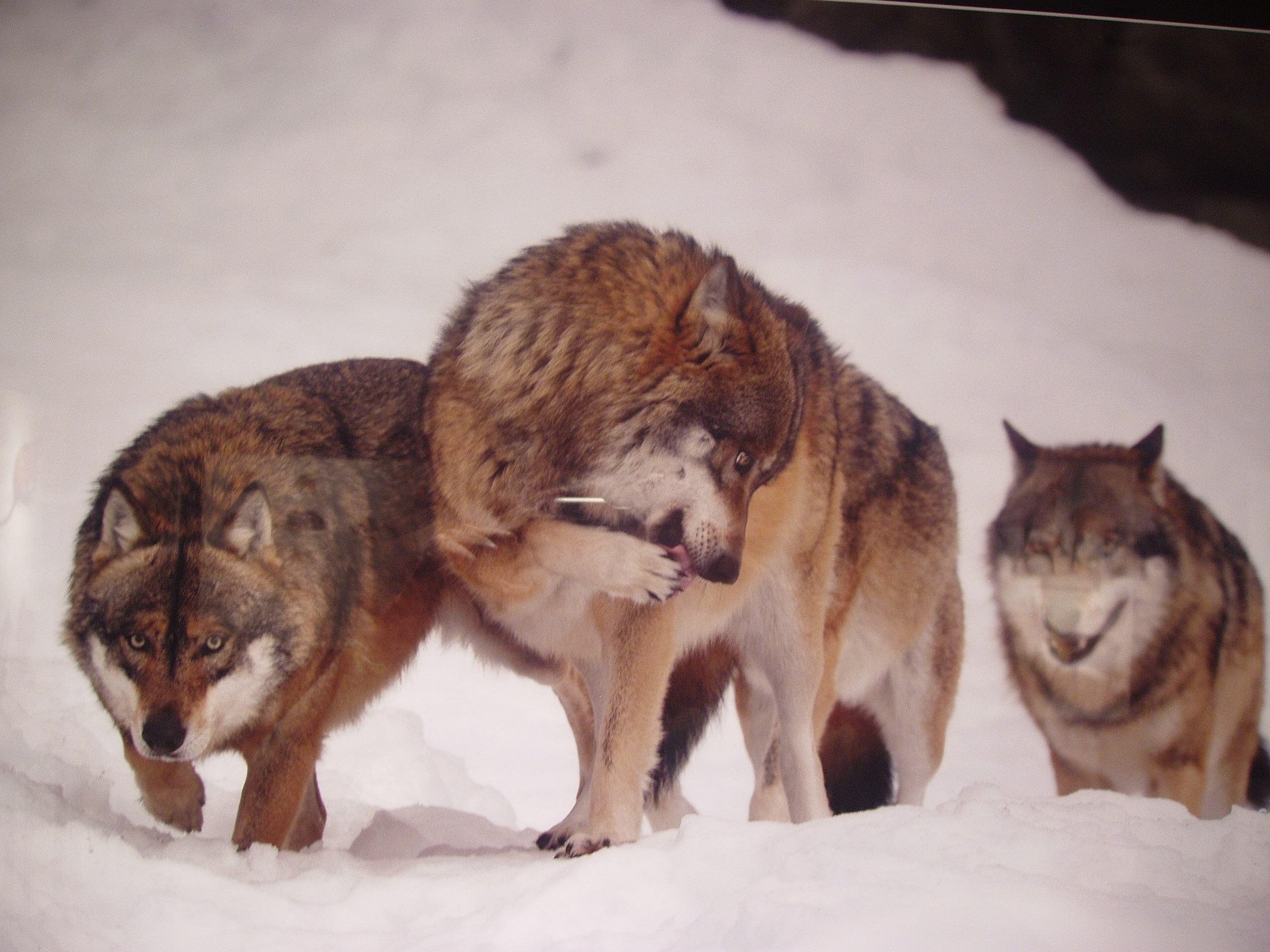 Alla scoperta dei piccoli mammiferi di casa nostra for Disegni di lupi facili