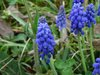 Muscari_neglectum.jpg