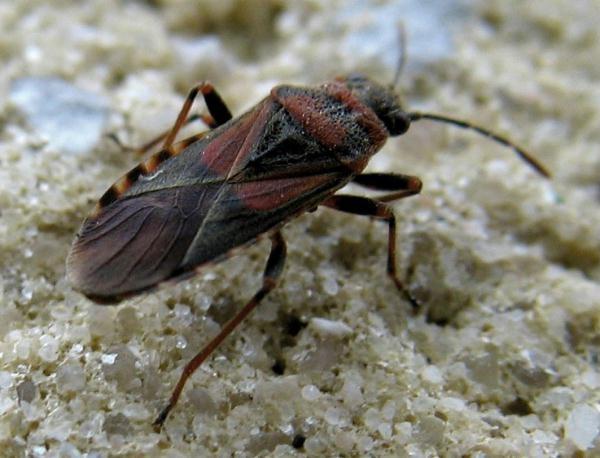 Cimice dell 39 olmo i comportamenti per difendersi dagli for Cimice insetto